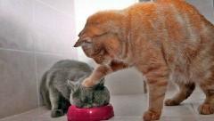 Борьба котов за миску с едой набирает обороты в Сети (видео)