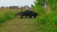 Годзилла существует: гигантский аллигатор живет в США (видео)