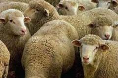 В Благодаренском районе Ставрополья мужчина украл 106 овец