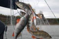 В 2016 году уровень браконьерства со стороны рыбодобывающих организаций вырос на 50%