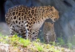 В Приморье у самки краснокнижного дальневосточного леопарда появилось потомство