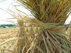 На Кубани разработают алгоритм сжигания рисовой соломы