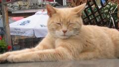 """В США скончался кот, 20 лет служивший """"мэром"""" города Талкитна"""