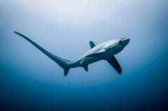 Турецкие рыбаки поймали пятиметровую акулу