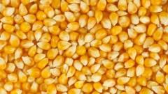На Кубани обмолотили 335,9 тысяч га зерновой кукурузы
