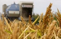 На Кубани собрали первые 200 тысяч тонн риса