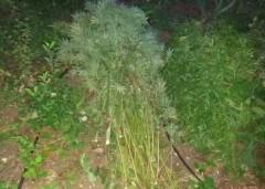 В Геленджике полиция обнаружила очаг произрастания конопли