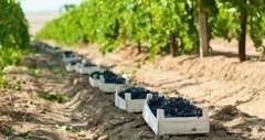 Краснодарский край - флагман винодельческой отрасли