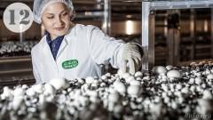Крупнейший комплекс по выращиванию грибов запустили на Кубани