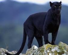 В Истре пантера насмерть загрызла мужчину
