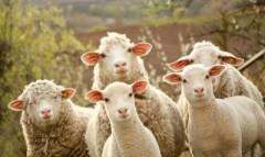 В КЧР полицейские раскрыли кражу отары овец