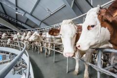В Кавказском районе Кубани построят молочную ферму