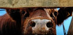 В КБР задержаны скотокрады