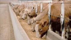 В Воронежской области работник сельхозпредприятия погиб во время кормления животных
