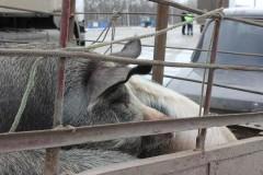 В Егорлыкском районе Дона задержаны две легковушки со свиньями без документов