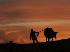 В Ростовской области задержали мужчину, укравшего корову