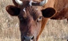На Дону завезенная без ветеринарного освидетельствования корова оказалась бешеной