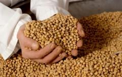 Больше сои вырастят в этом году в Краснодарском крае