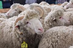 Медали за племенных овец и коз получили кубанские животноводы