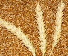 На Кубани собран 1 млн тонн зерна