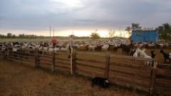 1000 овец-«нелегалов» ветинспекторам помогли обнаружить бдительные фермеры
