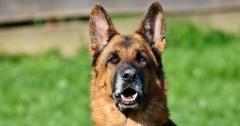В Колумбии наркомафия предложила 200 млн песо за жизнь полицейской собаки