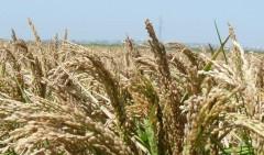 Аграрии Краснодарского края приступили к уборке риса
