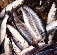 Под Приморско-Ахтарском пограничники задержали автомобиль с незаконно выловленной рыбой