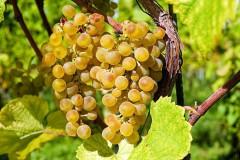 Лучших молодых виноделов России выберут в Анапе
