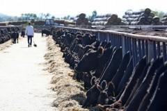 С начала года на Кубани произвели 37 тысяч тонн говядины