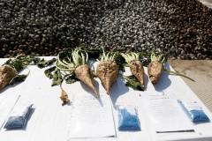 Валовый сбор сахарной свеклы на Кубани превысил 3 млн тонн