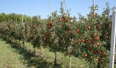 На Кубани увеличится производство плодовых саженцев
