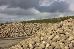 Сбор сахарной свеклы на Кубани превысил 3 млн тонн
