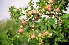 3,5 тысячи гектаров яблоневых садов появится на Кубани